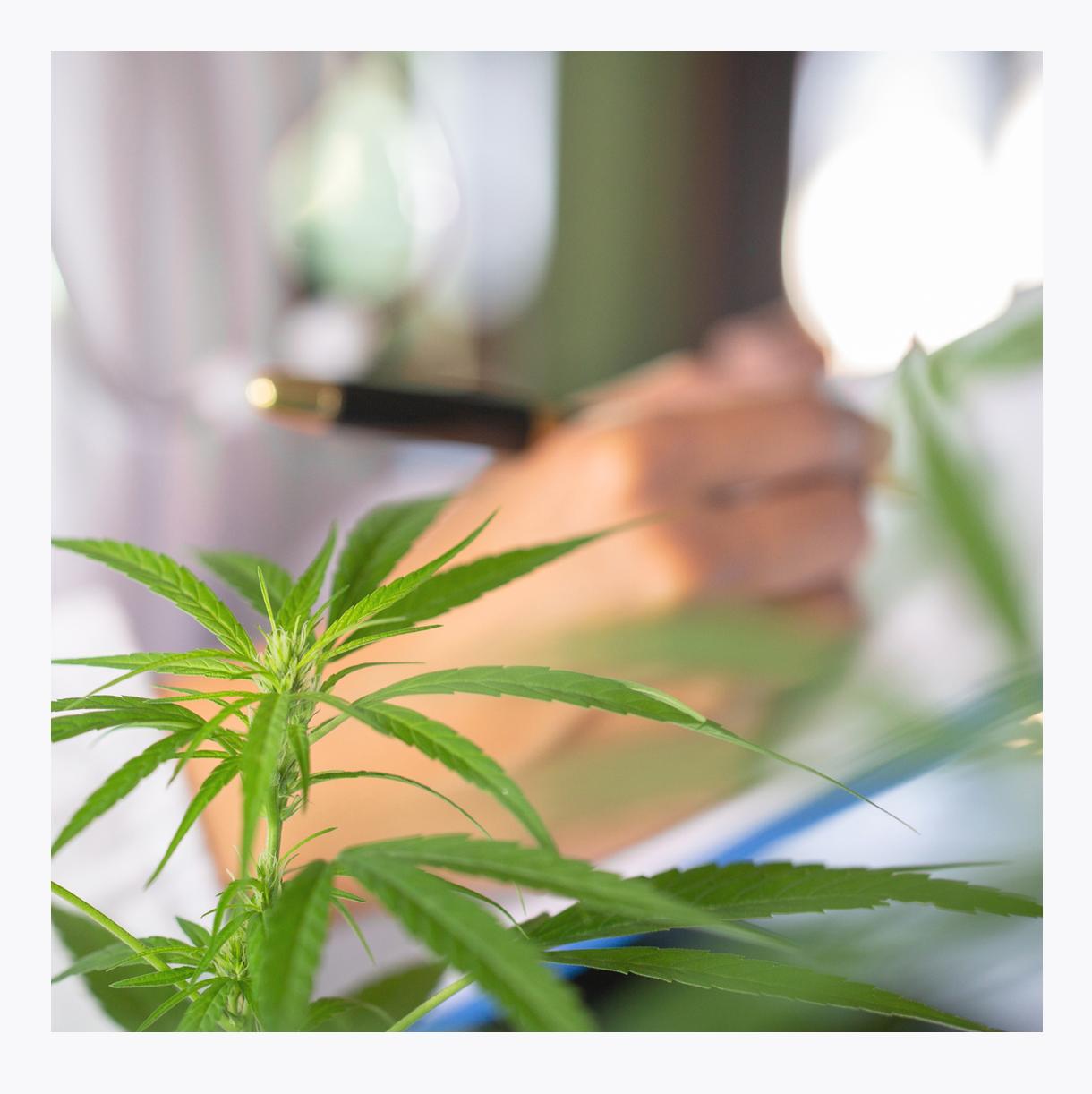 Medical marijuana plant CBD innovative treatment at senior living community